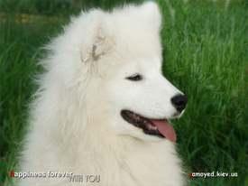 щенок самоеда Амадей