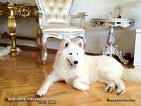 щенок самоеда Алиса Сокровища Валькирии